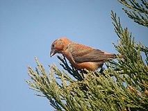 Common Crossbill (Loxia curvirostra) - geograph.org.uk - 419190.jpg