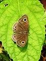 Common Four-ring Ypthima huebneri by Dr. Raju Kasambe DSCN7802 (13).jpg