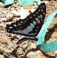 Common Jay (Graphium doson) at Madhurawada 03.jpg