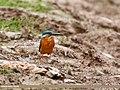 Common Kingfisher (Alcedo atthis) (28914164017).jpg