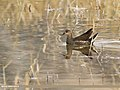 Common Moorhen (Gallinula chloropus) (46575783231).jpg