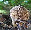 Common Puffball, Lycoperdon perlatum (22374750571).jpg
