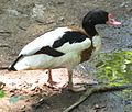 Common Shelduck 001.jpg