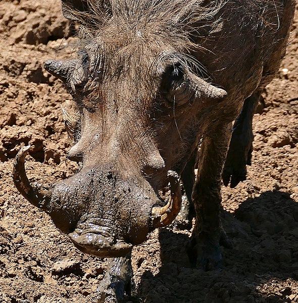File:Common Warthog (Phacochoerus africanus) male (33087195475).jpg