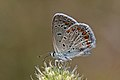 Common blue (Polyommatus icarus) male underside Hungary 2.jpg