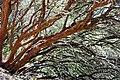 Common manzanita Arctostaphylos manzanita.jpg