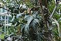 Conservatoire botanique national de Brest-Rothmannia annae-15 07 03 Philweb1 (19376256442).jpg