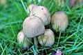 Coprinellus micaceus - 1.jpg