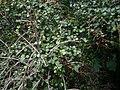 Coprosma rhamnoides 11.JPG