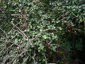 Coprosma - Coprosma rhamnoides
