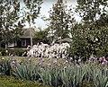 Corvallis – Iris germanica, 1930 (5167687069).jpg