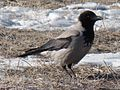 Corvus cornix 001.jpg