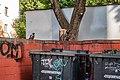 Corvus cornix near trash cans.jpg