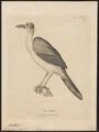 Corvus gymnocephalus - 1700-1880 - Print - Iconographia Zoologica - Special Collections University of Amsterdam - UBA01 IZ15700275.tif