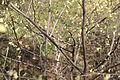 Corylopsis pauciflora C.JPG