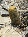Coryphantha erecta (5780777480).jpg