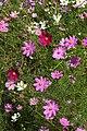 Cosmos bipinnatus 20D 8492.jpg