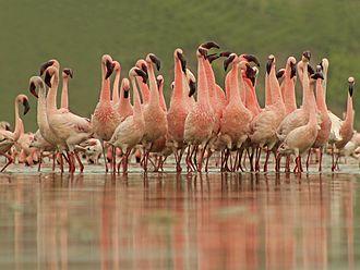 Porbandar - Courtship of Lesser Flamingos at Chhaya rann
