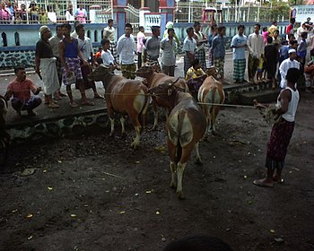 English: Cows for Eid ul-Adha, Indonesia Bahas...