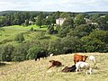 Cows grazing near the Gilsland Spa Hotel - geograph.org.uk - 1554323.jpg