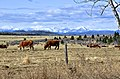 Cows in the Foothills - panoramio.jpg