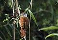 Cranioleuca marcapatae - Marcapata Spinetail (nominate ssp.).jpg