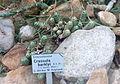 Crassula barklyi - Botanischer Garten, Dresden, Germany - DSC08802.JPG