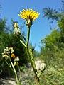 Crepis pannonica sl13.jpg