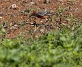 Crimson chat and grub (8985003270).jpg