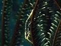 Crinoid Shrimp (Laomenes sp.) (16243508571).jpg