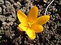 Crocus flower 2.JPG