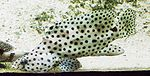 Cromileptes altivelis - Paddelbarsch - Panther grouper.jpg