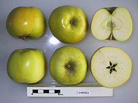 Cross section of Gabiola, National Fruit Collection (acc. 1958-037).jpg