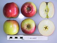 Cross section of Red Saelet, National Fruit Collection (acc. 1975-362).jpg