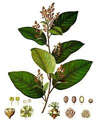 Croton eluteria - Köhler–s Medizinal-Pflanzen-195