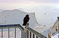 Crow at Zugspitze, Garmisch-Partenkirchen - panoramio.jpg