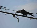 Crow bird @ Fort Kochi..JPG