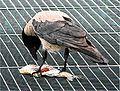 Crow eateth a fish.jpg