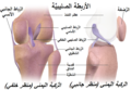 Cruciate Ligaments-ar.png