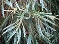 Cryptomeria japonica Yoshino 4zz.jpg