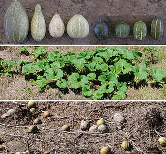 Cucurbita andreana - Cucurbita andreana fruits (top), plant in the middle of the season (middle) and fruits left at the end of the season (bottom). The opaque ones are fruits left on earlier seasons from a different plant on the same place.