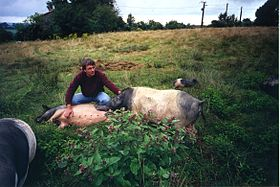 Image illustrative de l'article Porc du Limousin