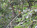 Culicicapa ceylonensis, Grey-headed canary-flycatcher at Mannavan Shola, Anamudi Shola National Park, Kerala (1).jpg