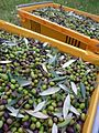Cultivar leccino.jpg