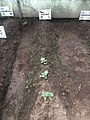 Cultivo de Pepino Cucumber 2.jpg