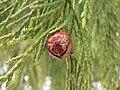 Cupressus nootkatensis 43596.jpg
