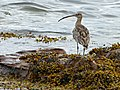 Curlew at Lunderston Bay (geograph 5484302).jpg