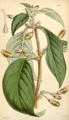 Curtis's Botanical Magazine, Plate 4342 (Volume 73, 1847).png
