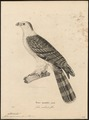 Cymindis cayennensis - 1700-1880 - Print - Iconographia Zoologica - Special Collections University of Amsterdam - UBA01 IZ18200360.tif