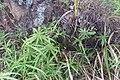 Cyperus albostriatus Schrad. (AM AK357214-4).jpg